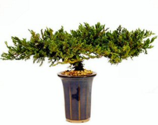 Image: Juniper Bonsai Tree - 8 - Preserved Bonsai Tree (Preserved - Not a living tree)