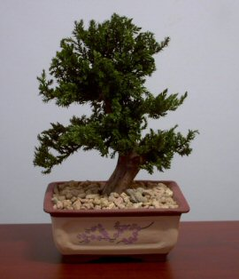 Image: Preserved Juniper Bonsai Tree - Upright Style Potted in Chinese Bonsai Container (Preserved - Not a living tree)