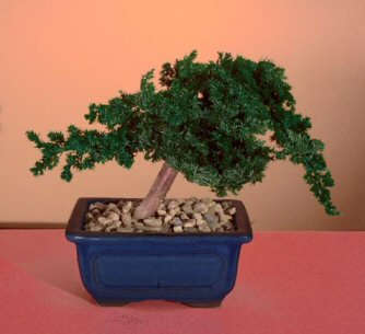 Image: Preserved Juniper Bonsai Tree - Windswept Style (Preserved - Not a living tree)