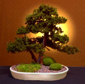 Image: Preserved Juniper Bonsai Tree - Upright Double Trunk Style (Preserved - Not a living tree)