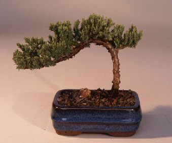 Image: Juniper Bonsai Tree-Small (Juniper Procumbens nana)