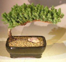 Juniper Bonsai Tree - Medium(Juniper Procumbens nana) Image