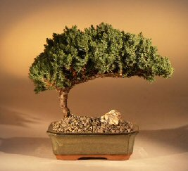 "Juniper Bonsai Tree - Medium Juniper Procumbens ""nana"""