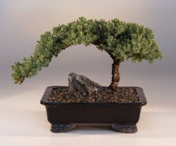 <b><font color = red>FREE SHIPPING ON THIS TREE</font></b><br>Juniper Bonsai Tree - Large<br><i>(Juniper Procumbens nana)</i>