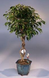 Golf Ball Ficus Bonsai Tree Largewith Miniature Golfer