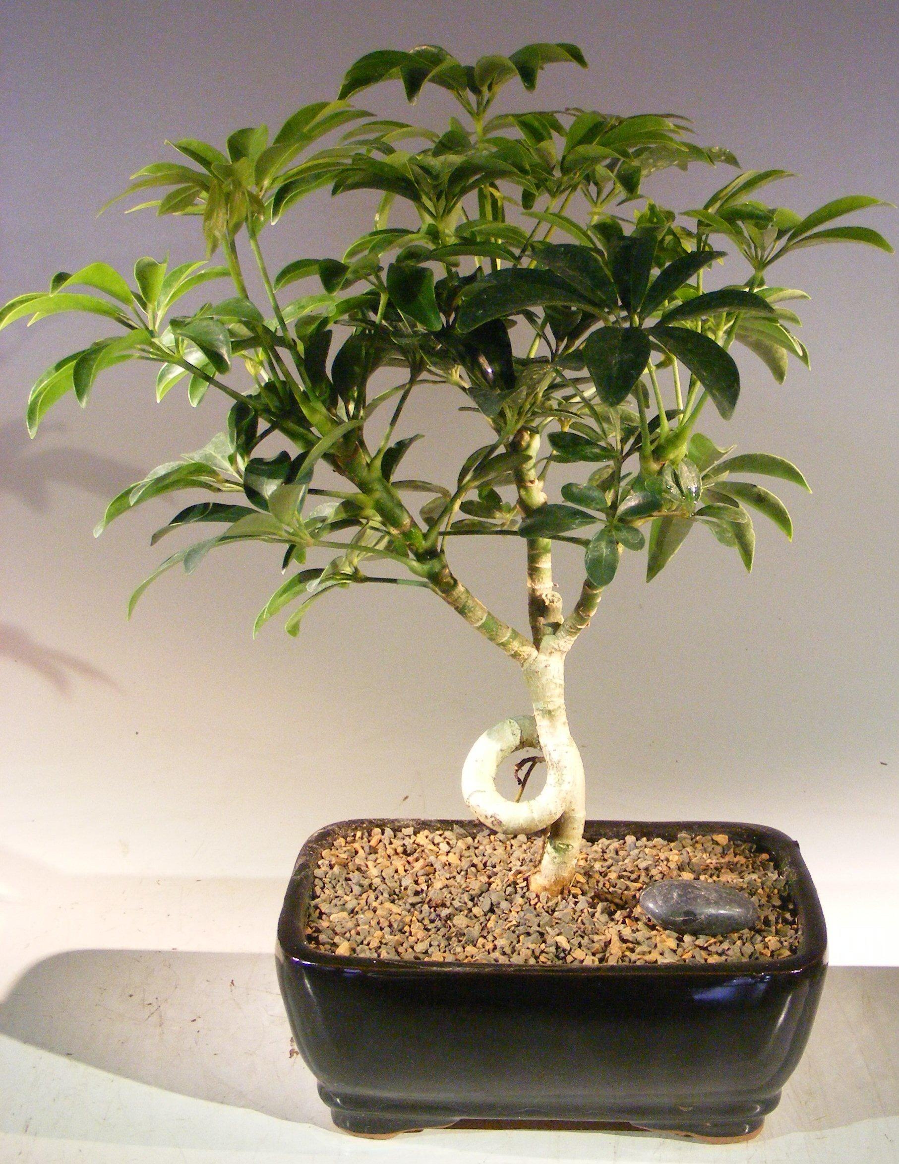 Hawaiian Umbrella Bonsai Tree - Medium Coiled Trunk Style (Arboricola Schefflera 'Luseanne') Image