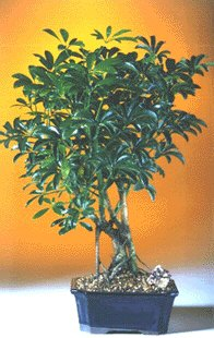 Hawaiian Umbrella Bonsai Tree-Medium (Arboricola Schefflera)