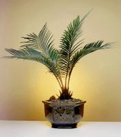 Image: Sago Palm Bonsai Tree - Exotic (Cycas Revoluta)