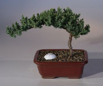Juniper with Fairway Golf Ball  (Juniper Procumbens