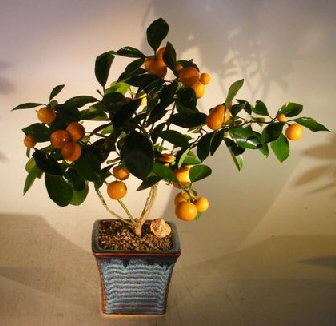 Orange Citrus Bonsai Tree  (