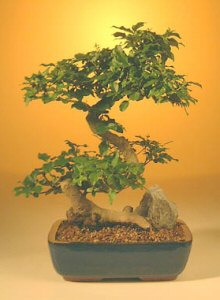 Flowering Ligustrum Bonsai Tree - Large r>Curved Trunk Style <br><i>(ligustrum lucidum)</i>