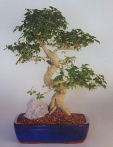 Ligustrum Bonsai Tree-Extra Large (ligustrum lucidum)