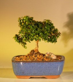 Japanese kingsville boxwood buxus microphylla compacta