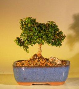 Japanese kingsville boxwood buxus microphylla compacta