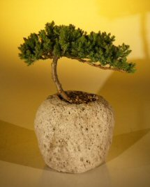 Image: Juniper in a Lava Rock (Juniper Procumbens nana)