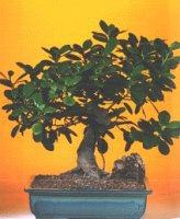 Green Emerald Ficus Bonsai Tree-Extra Large (Ficus Microcarpa)