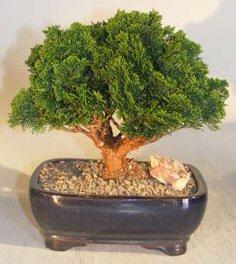 Hinoki Cypress Bonsai Tree Evergreen Conifer Medium Chamecyparis Obtusa Nana