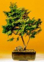 Golden Hinoki Cypress (Chamecyparis Obtusa Compacta aurea)