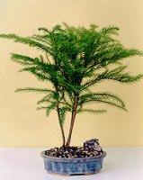 Norfolk Island Pine-Medium<br><i>(Araucaria Heterophila)</i>