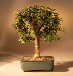 Baby Jade Bonsai Tree Complete Starter Kit