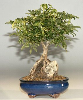 Hawaiian Umbrella Bonsai Tree Roots Growing Over Rock, Large (Arboricola Schefflera)