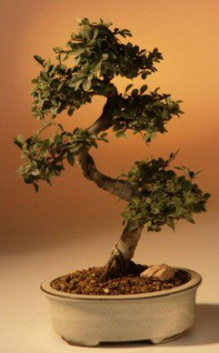Chinese Elm Bonsai Tree - Large <br>Curved Trunk Style <br><i>(Ulmus Parvifolia)</i>