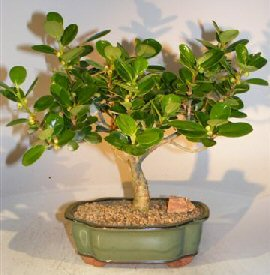Image: Green Island Ficus Bonsai Tree- Medium Ficus Microcarpa