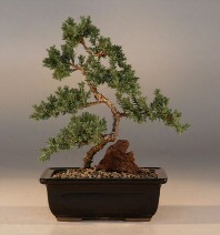 Juniper Karate Kid  Bonsai Tree - Medium<br><i>(Juniper Procumbens nana) </i>