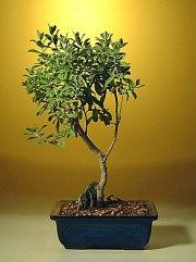 Texas Sage Bonsai Tree Leucophyllum Frutescens