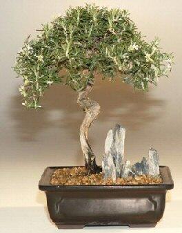Bahama Berry Nashia Inaguanesis At Bonsai Trees Online Store
