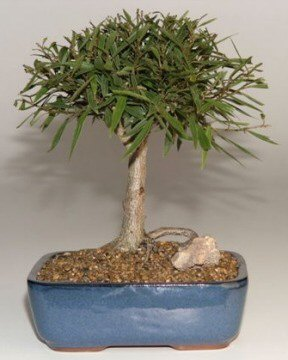 Willow Leaf Ficus Bonsai Tree<br>Complete Starter Kit