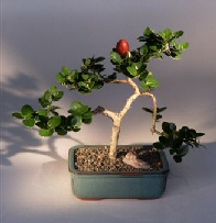 Plum - Medium Flowering Bonsai Tree (Carissa Macrocarpa)