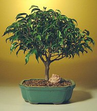 Ficus 'Midnight' Bonsai Tree- Large<br><i>(ficus benjamina 'midnight') </i>