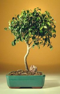 FREE SHIPPING ON THIS TREE Ficus 'Too Little' - Large (ficus benjamina