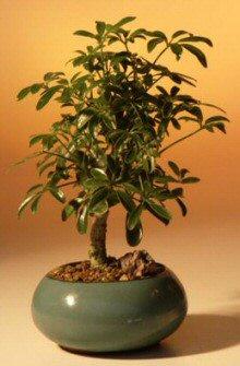 Hawaiian Umbrella Bonsai Tree - Small<br><i>(arboricola schefflera 'luseanne')</i>