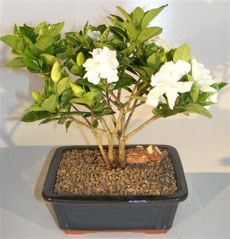 Flowering Gardenia Bonsai Tree   Multi Trunk Style (jasminoides Miami  Supreme)