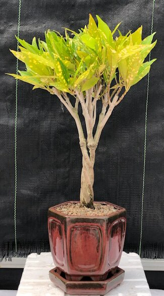 Croton Gold Dust Braided Twist Bonsai Tree<br><i>(codiaeum variegatum)</i>