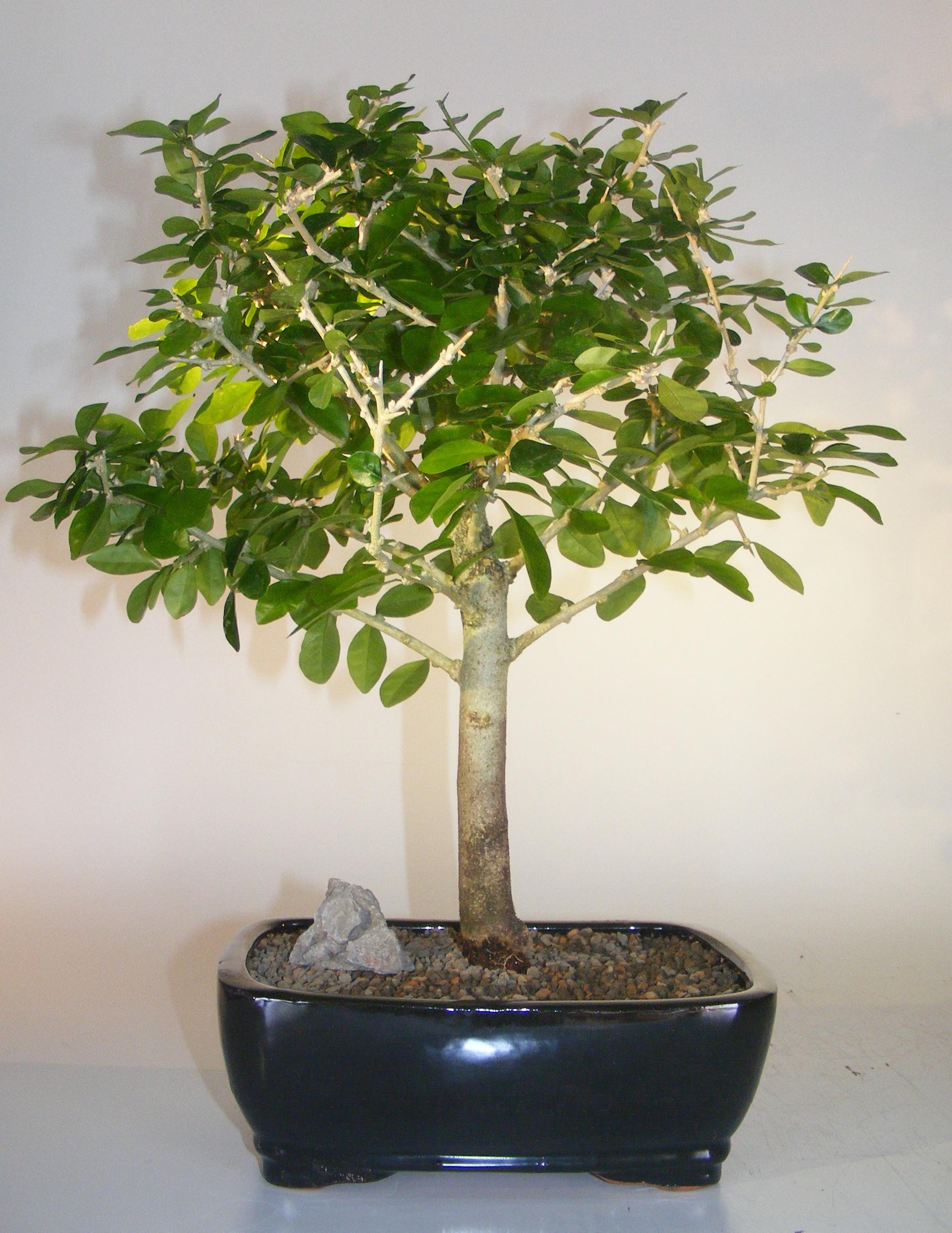 Flowering & Fruiting Tintillo Bonsai Tree (Randia aculeata) Image
