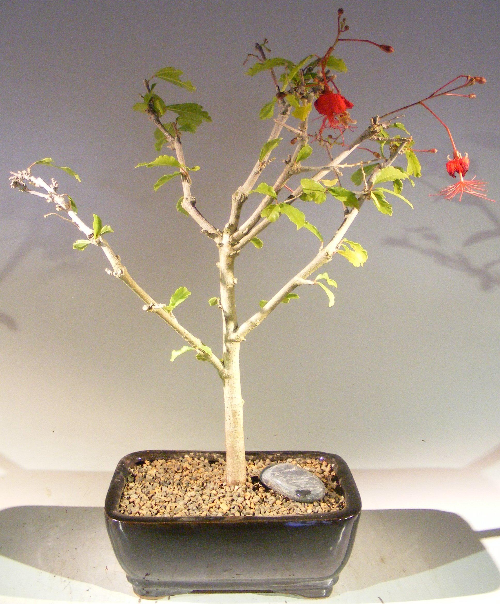 Flowering Hibiscus Bonsai Tree Red Chinese Lantern Hibiscus Grandidieri