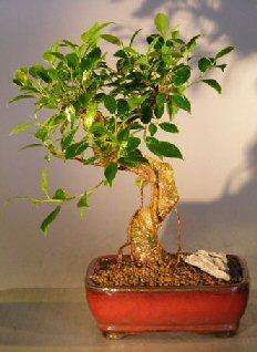 Ficus Retusa Bonsai Tree - Medium<br> Curved Trunk Style