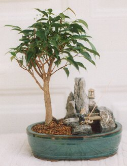 Ficus-Stone Landscape Scene with Fishing Pole (ficus compacta)