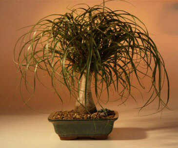 Ponytail Palm Root System http://www.tropical-plants-flowers-and-decor.com/pony-tail-palm.html