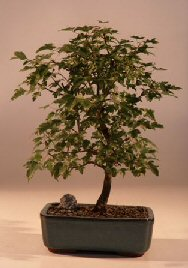 Trident Maple Bonsai Tree<br><i>(Acer Buergerianum)</i>