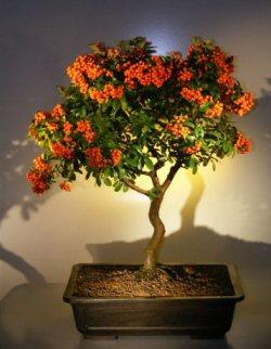 Image: Flowering Pyracantha Bonsai Tree (Coccinea (Lalandii)