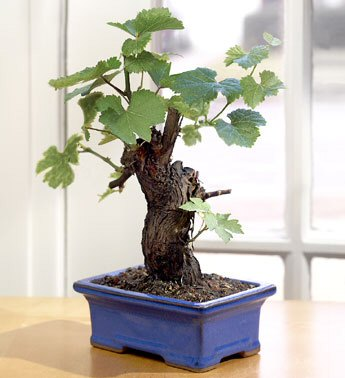 Wine Grape Bonsai-Cabernet