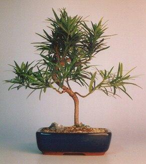 "Podocarpus Bonsai Tree - """"Styled"""" (podocarpus macrophyllus)"