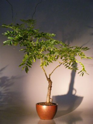 Flowering Japanese Wisteria Bonsai Tree<br><i>(wisteria floribunda)</i>