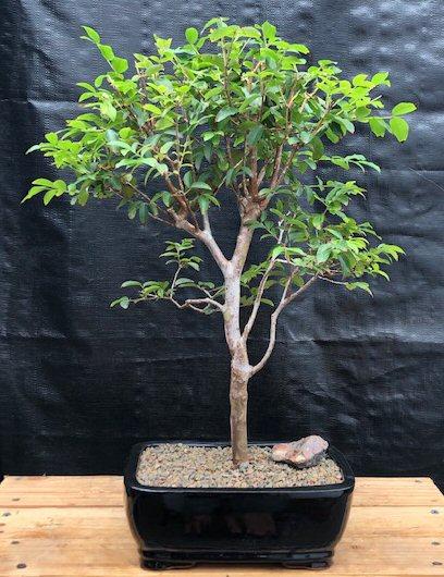 Flowering Jaboticaba Bonsai Tree - Large (eugenia cauliflora) Image