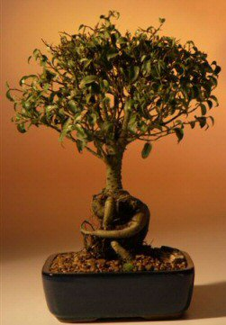 Buy Ficus Tree Too Little- Exposed Roots – Large (ficus benjamina too little)