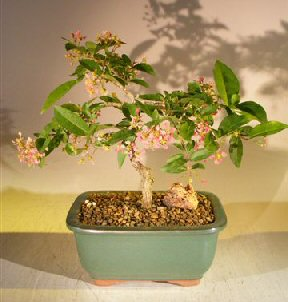 Flowering Dwarf Weeping Barbados Cherry Bonsai Tree (Malpighia Pendiculata)